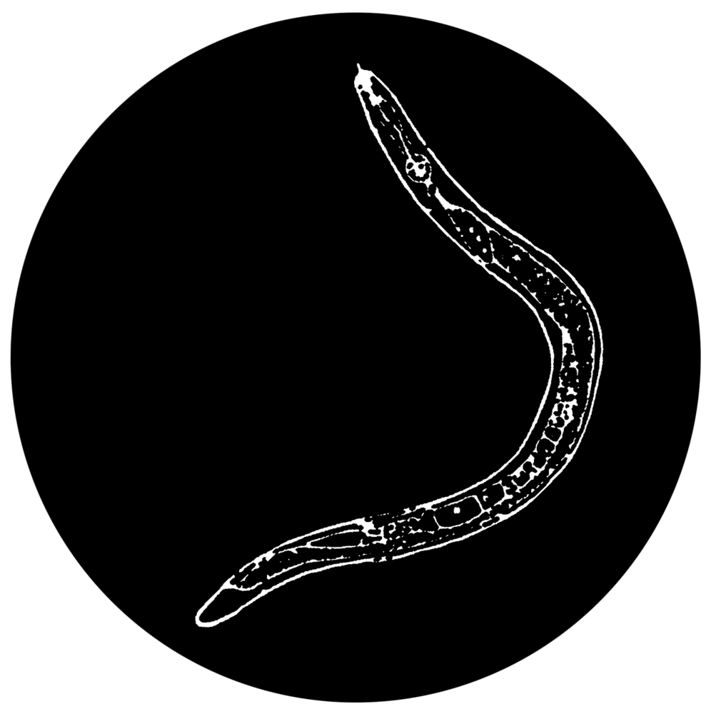 Image of Microworm