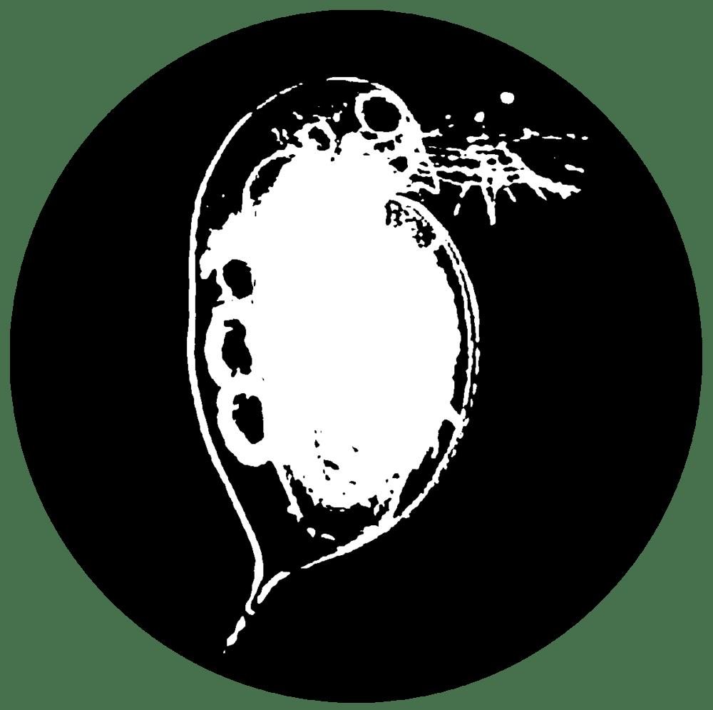 Image of Daphnia Pulex