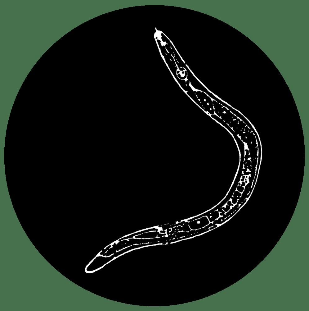 Image of Banana Worm