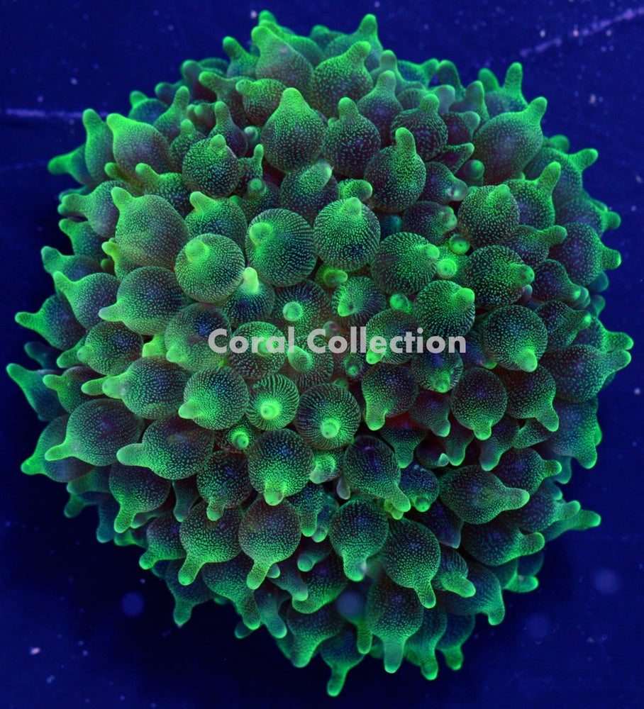 Image of CC Neon Green BTA