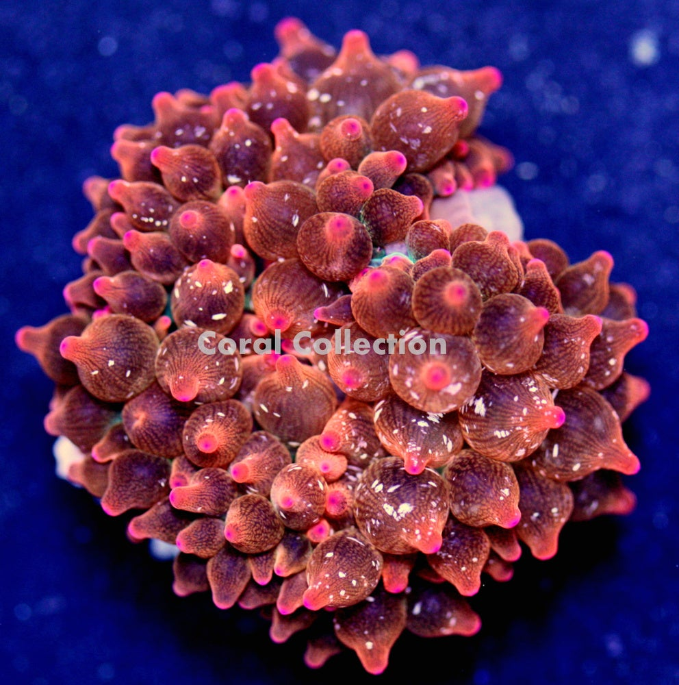 Image of Speckled Rose BTA