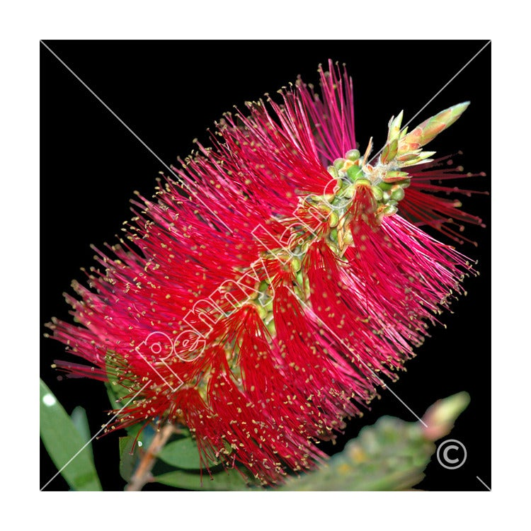 Image of Scarf - Bottle Brush