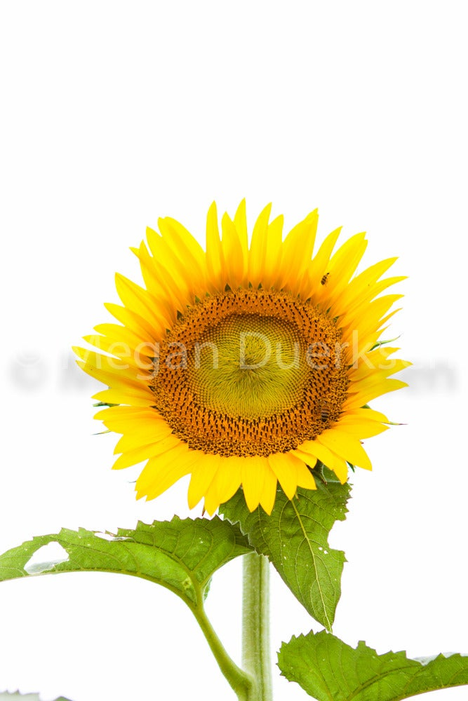 Image of Sunflower on White Sky Canvas