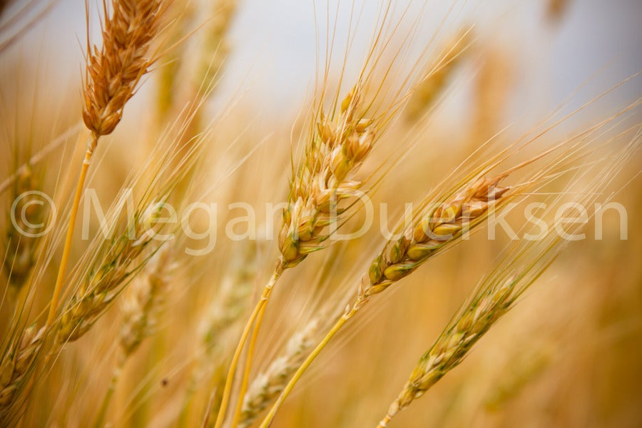 Image of Wheat Canvas