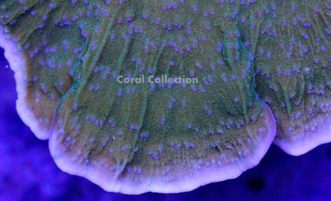 Image of LE Blue Polyp Cap