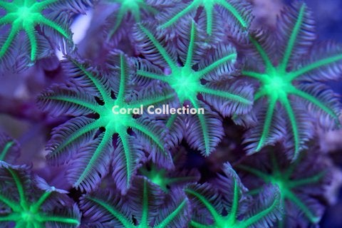 Image of Neon Green Clove Polyp