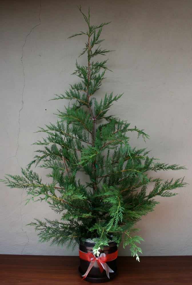 Image of Traditional Cypress Christmas tree - approx 1.5 to 1.75 metres tall