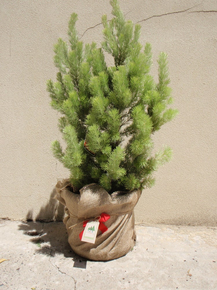 Image of Native Australian Christmas Tree - 60cm high