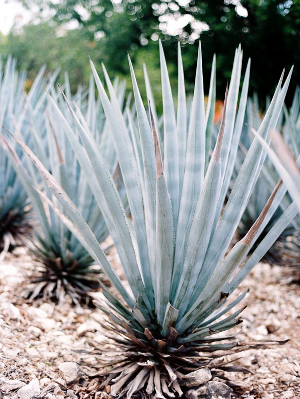 Image of Agave Plant