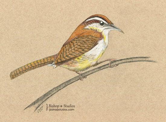 Image of Carolina Wren - Original Graphite Drawing - 8 x 10
