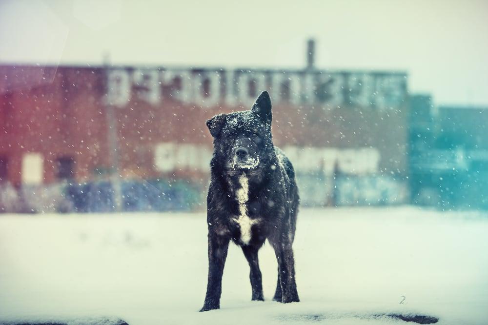 Image of Dingo