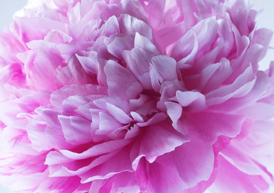 Image of Dad's Peony #1