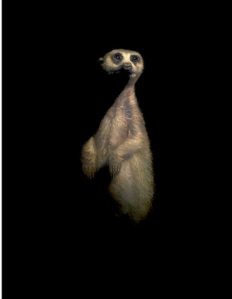 "Image of Brad Woodfin ""Meerkat"" Print"