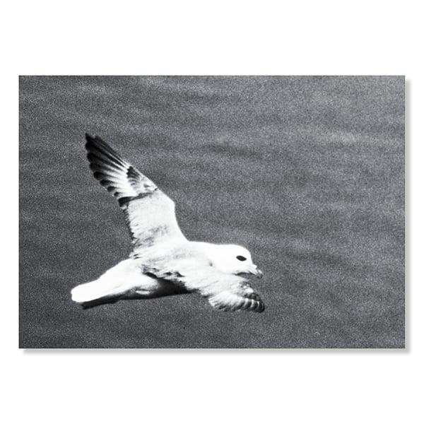 Image of Seagull / Faroe Islands