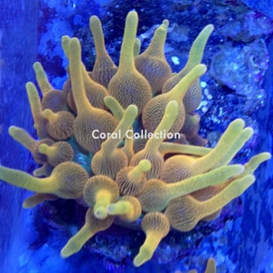 Image of CC Lemon Drop BTA