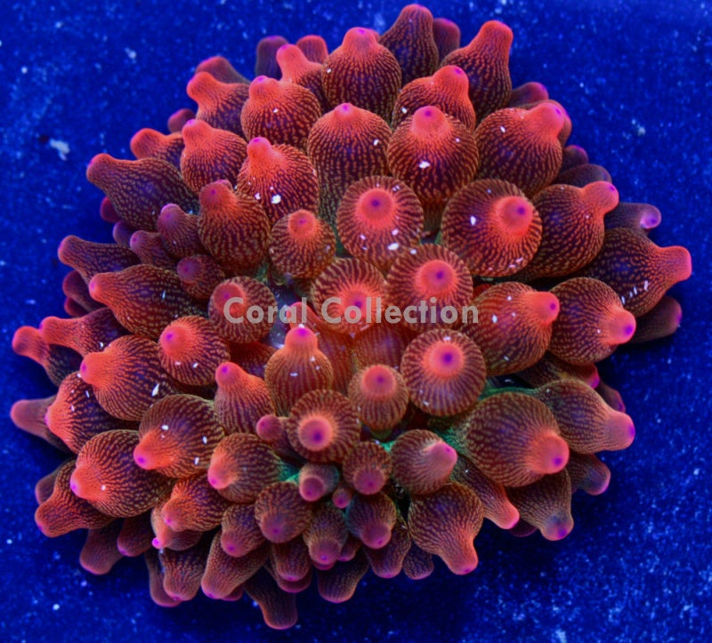Image of CC Rainbow Rose BTA