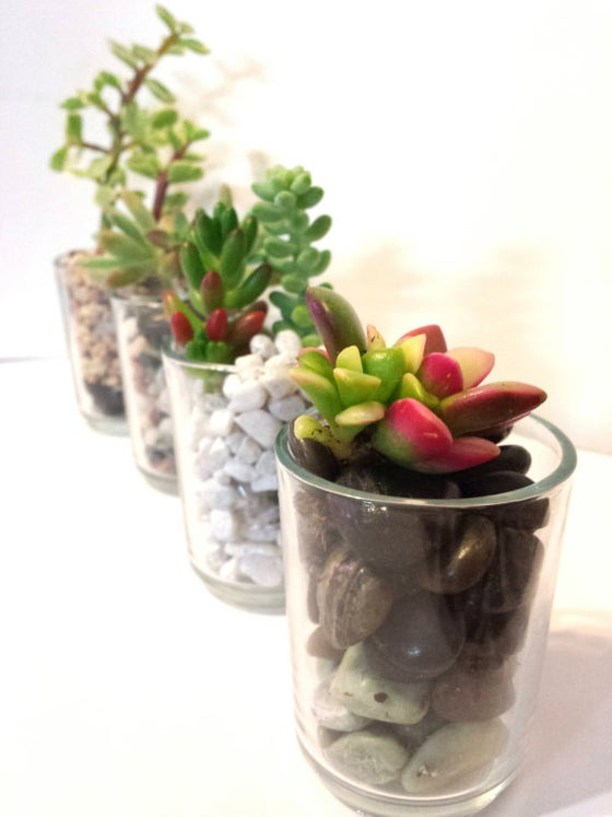 Image of Succulents in Shots (Set of 3)