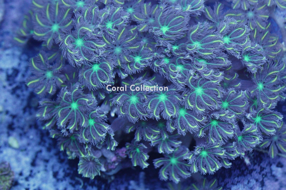 Image of Lemon Laced Clove Polyp