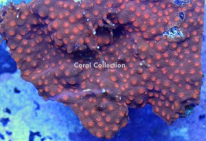 Image of LE Blood Red Eyes Cyphastrea