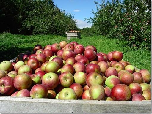 Image of Apple Harvest