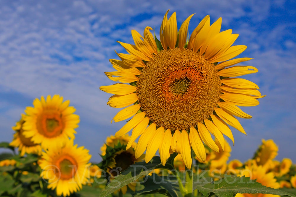 Image of Sunny Day Sunflowers Print