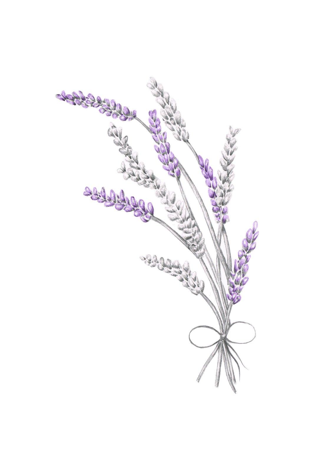 lavender   annabelles illustrations