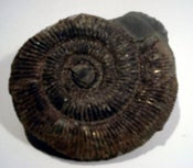 Image of ammonite 002