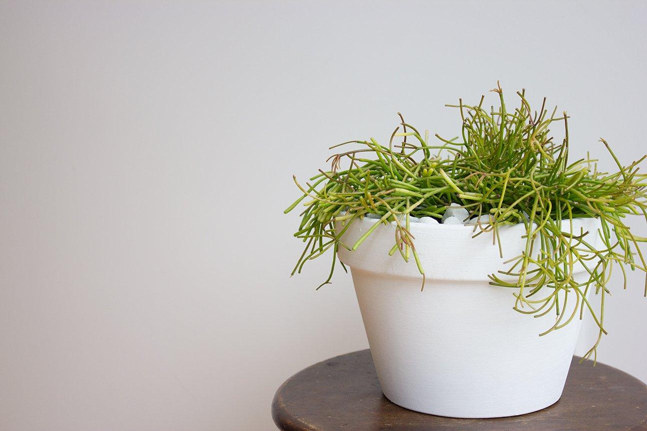 Image of Mistletoe cacti