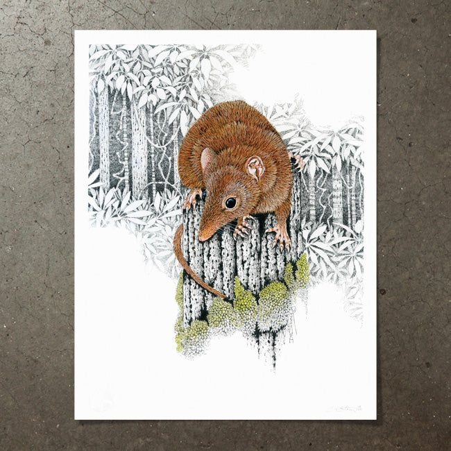 Image of Yellow Footed Antechinus - Art Print