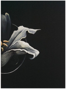 Image of Halo Lily (A4 Giclee Print)