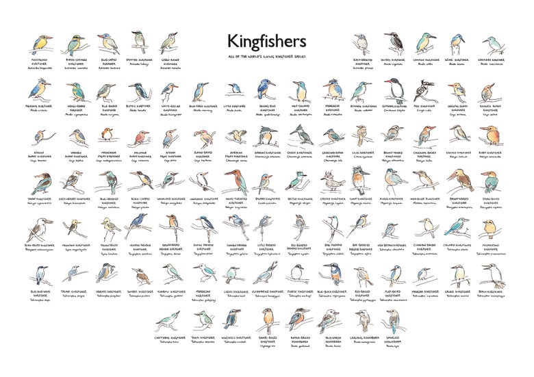 Image of Kingfishers