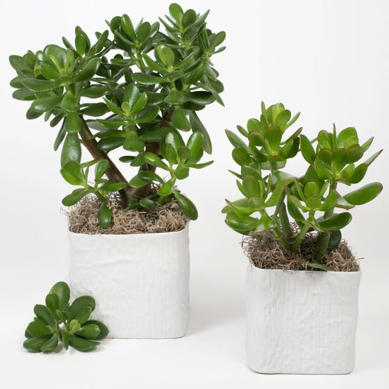 Image of POTTED JADE