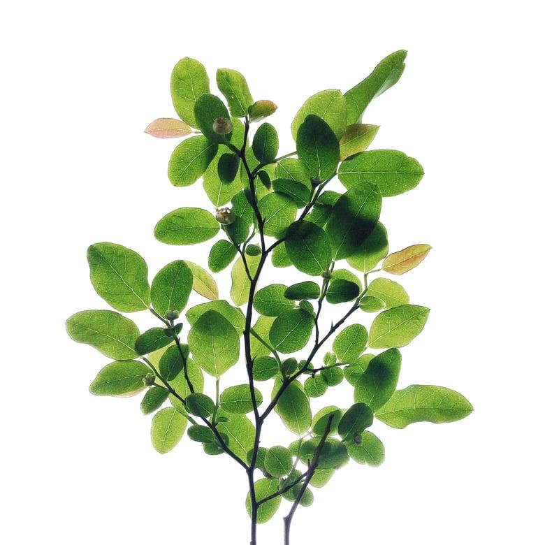 Image of Huckleberry