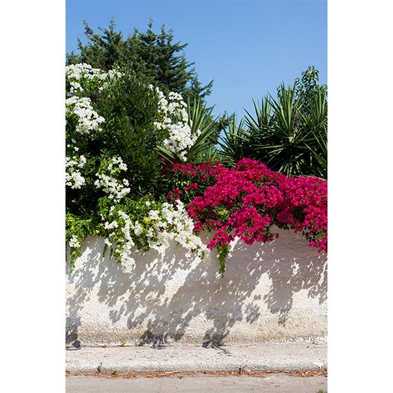 Image of Bougainvillea Two Tone