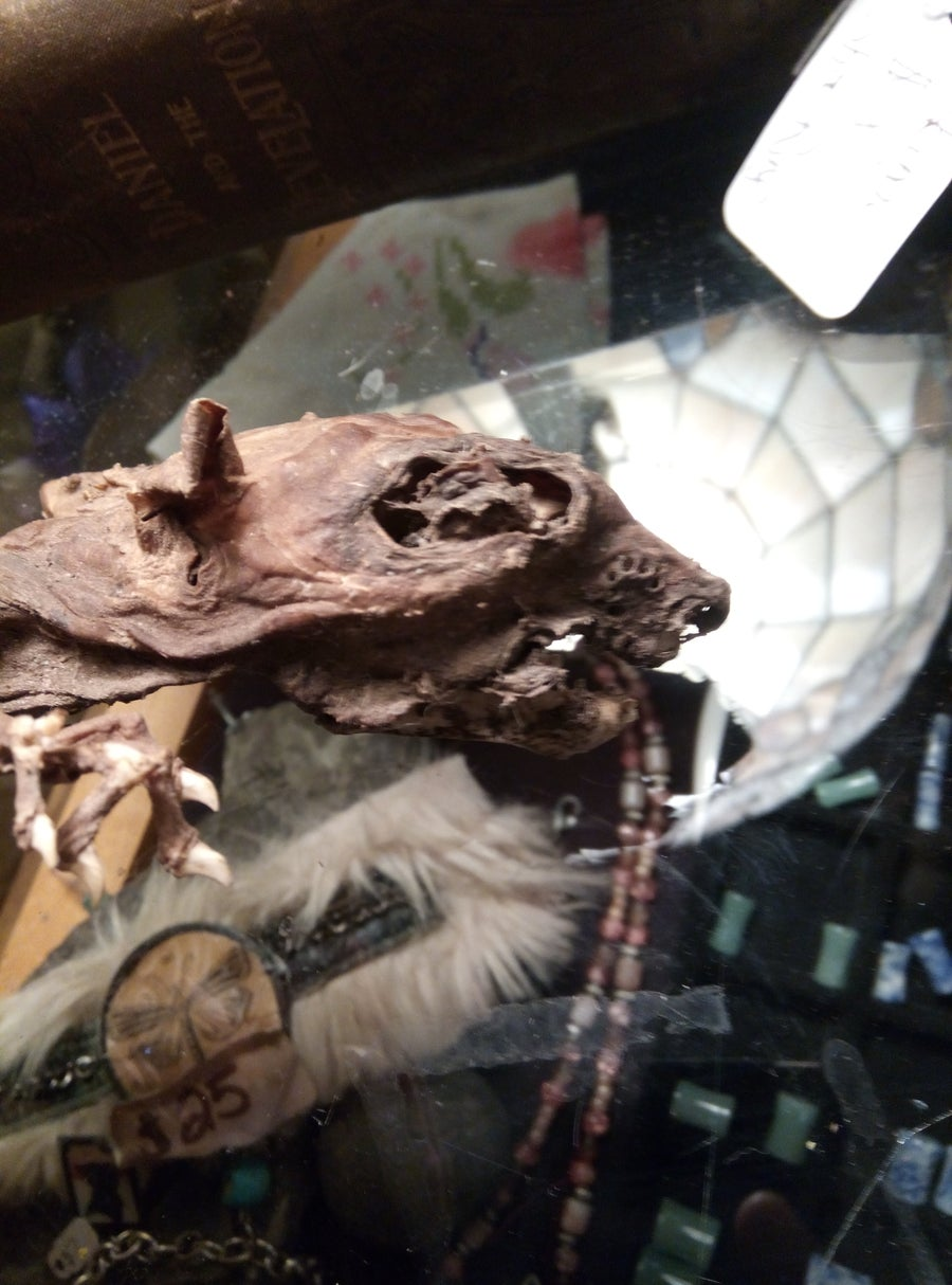 Image of Huge naturally mummified rat.