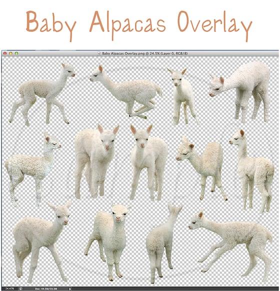 Image of Baby Alpacas Overlay
