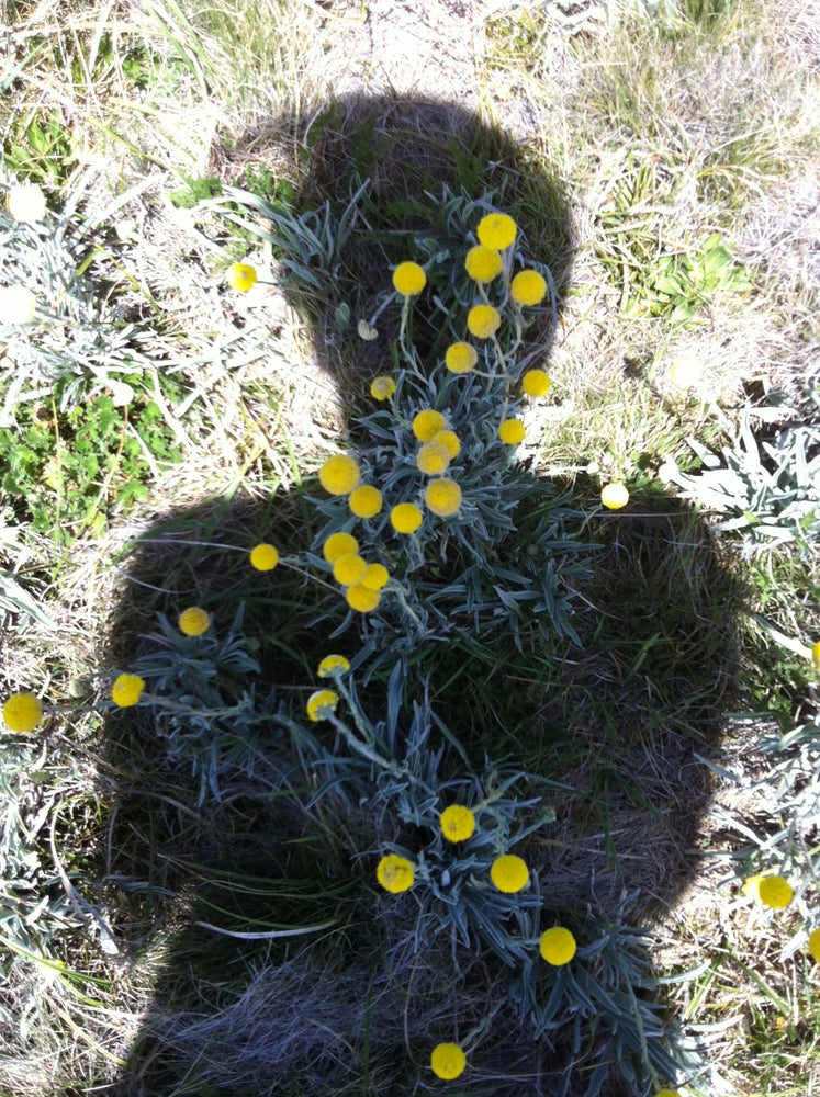 Image of Billy Buttons by Catherine van Wilgenburg