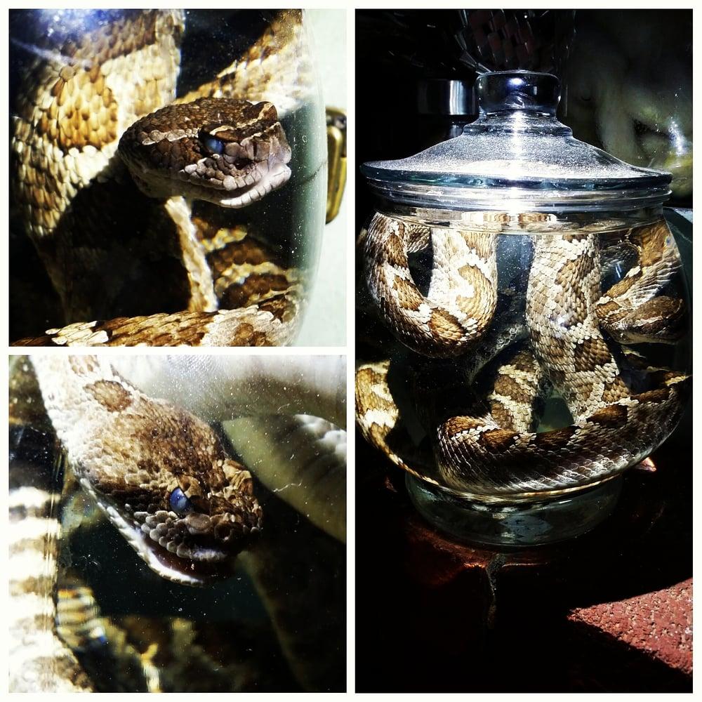 Image of Rattlesnakes