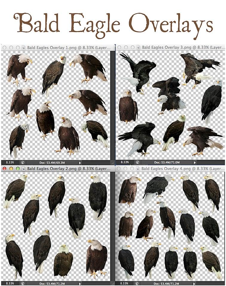 Image of Bald Eagle Overlays
