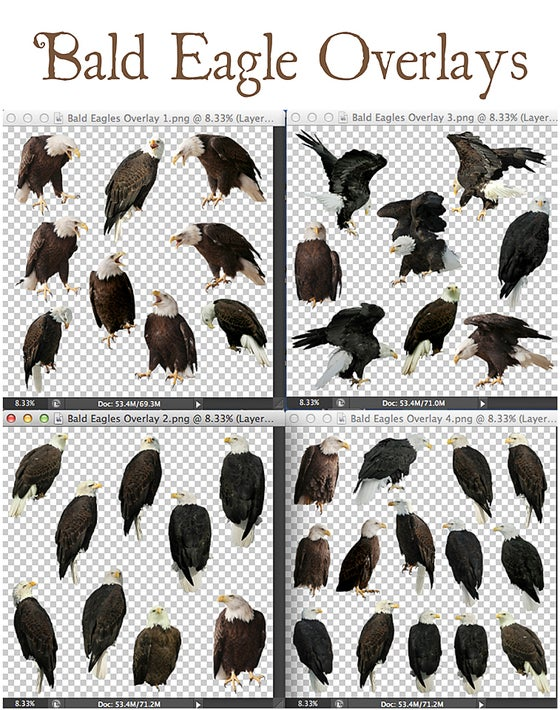 Image of Bald Eagle Overlays
