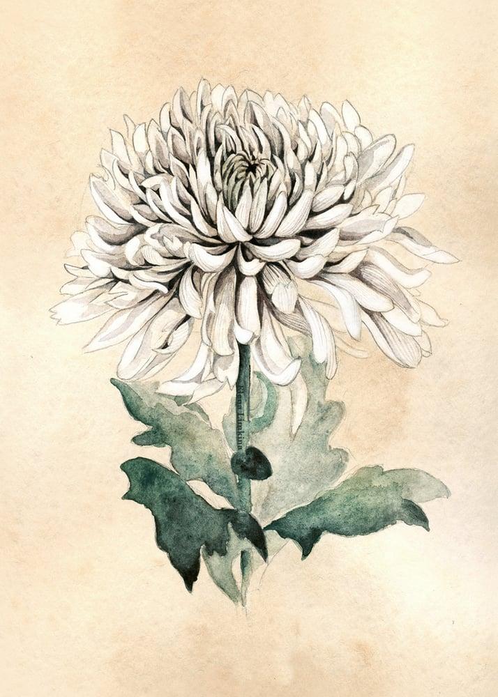 Image of White chrysanthemum. Art Print
