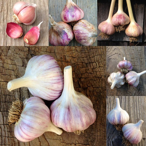 Garlic of the Month - 4 Months