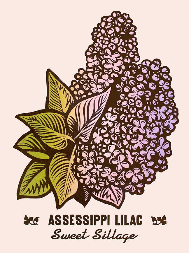 Image of Assessippi Lilac