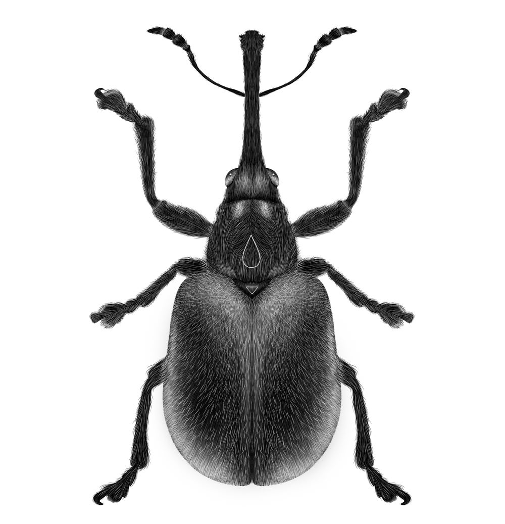 Image of RARE WEEVIL