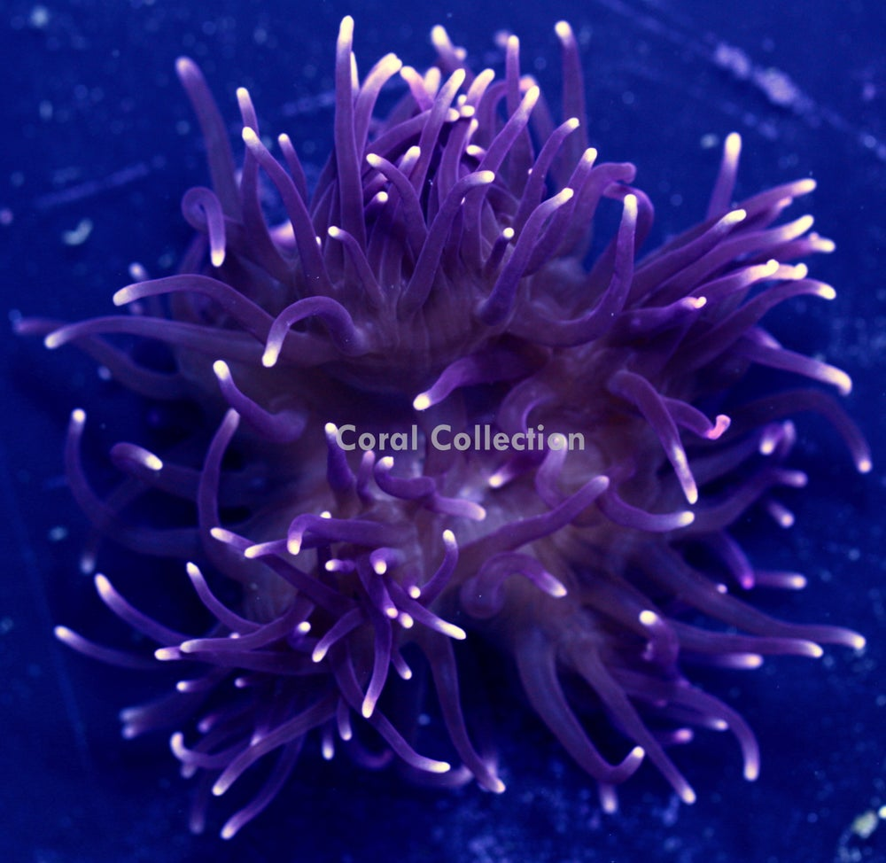 Image of Frozen Purple Long Tentacle Anemone
