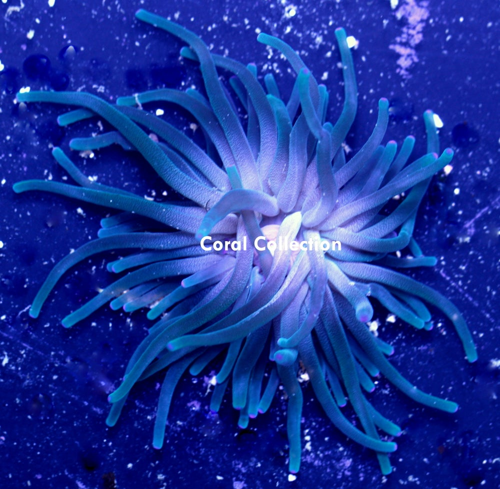 Image of Teal Long Tentacle Anemone