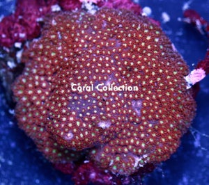 Image of CC Fruit Punch Goniopora