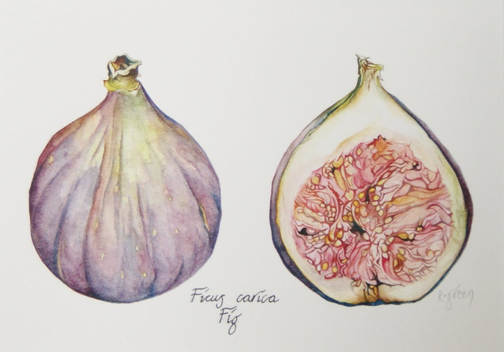 Image of Fig - Giclee Print & Greeting card
