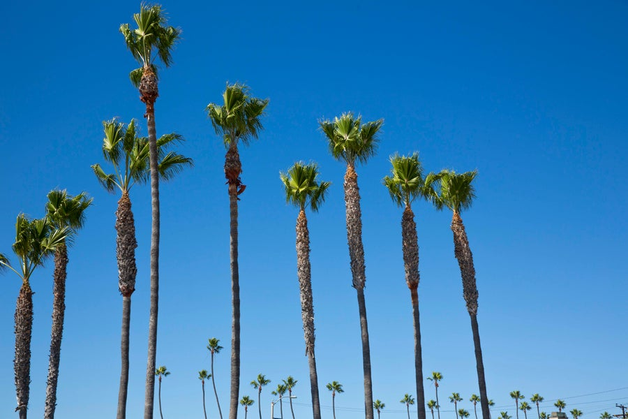 Image of California Palm Trees