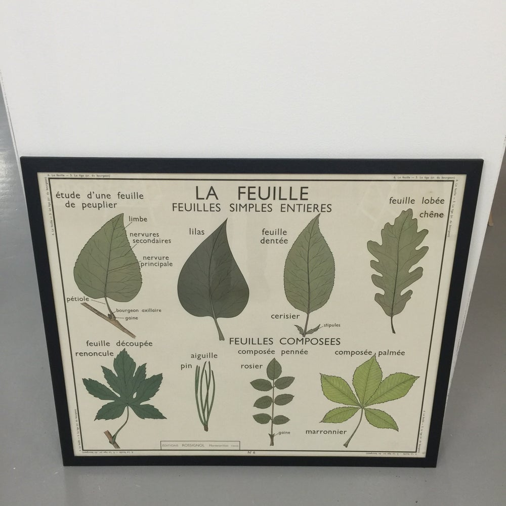 Image of 1950s Botanical Chart - Leaves